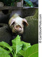 Curious a pig