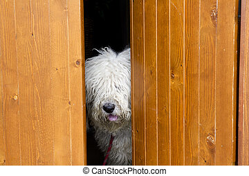 curious and shy dog hiding behind the wood door funny guard