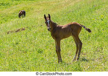 Curious and timorous foal standing on a summer pasture