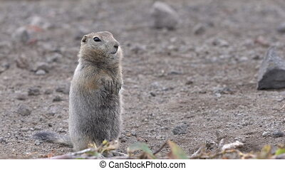 Curious Arctic gopher, carefully looking at camera. Wild animal of genus rodents of squirrel family. Kamchatka Peninsula, Russian Far East, Asia.