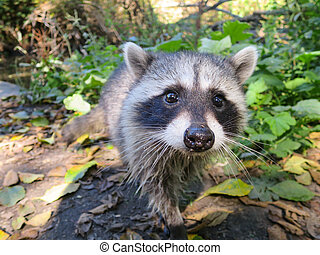 Curious baby raccoon