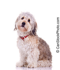 curious bearded collie