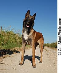 curious belgian shepherd - beautiful young purebred belgian ...