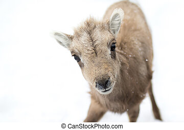 curious bighorn sheep lamb - a bighorn sheep lamb approaches...