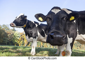 curious black and white cow in meadow