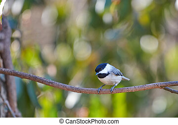 Black-Capped Chicadee sitting on a branch.