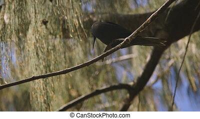 Curious Black Noddy On a Tree, Lady Elliot Island