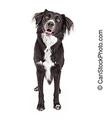 Curious Border Collie Mix Breed Dog Standing - An attentive...