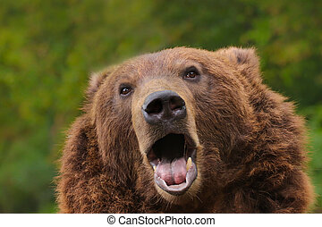 Curious brown bear with open mouth