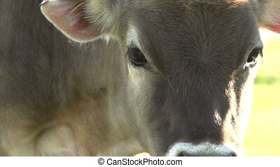Curious Calf - Two funny calf against grazing herd