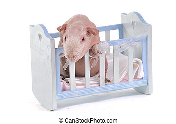 Curious Cavy in a baby cot - Curious Guinea Pig in a baby ...