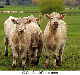 Curious Charolais aginst the lush green spring grass