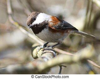 Curious Chestnut-backed Chickadee - A curious Chestnut-...