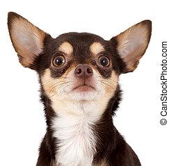 curious chihuahua dog