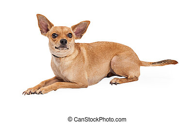 Curious Chihuahua Mix Breed Dog Laying - A curious Chihuahua...
