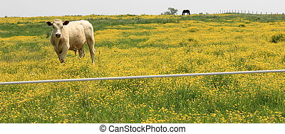Curious cow in buttercup meadow