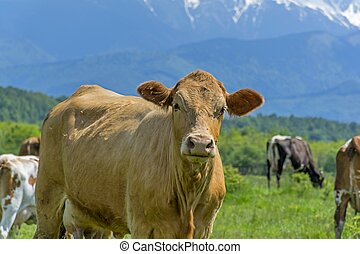 Curious cow on a summer pasture
