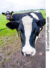 Curious cows in a dutch landscape