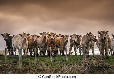 Curious cows on the pasture
