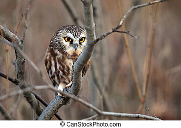 Northern Saw-Whet Owl against a blurred autumn background.