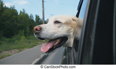 Curious dog breed labrador looks out the window of moving...