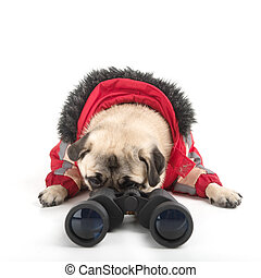 Curious dog. Funny dog looking through binoculars while isolated on white