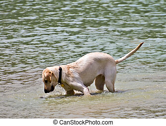 Curious Dog in Water