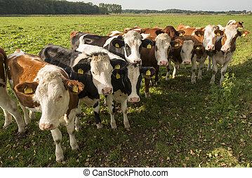 Curious Dutch cows in a pasture