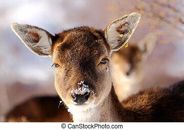 curious fallow deer calf at an animal park