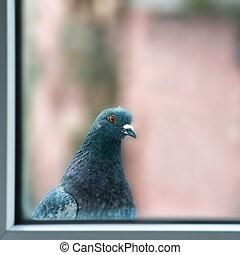 Curious fat pigeon