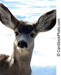 Curious Fawn - Young mule deer out in the sunny winter snow
