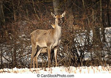 curious female red deer