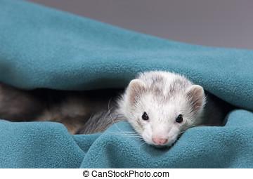 Curious ferret.