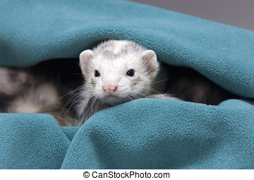 Curious ferret peeks out.