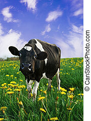 Curious Friesian Calf