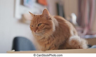 Curious ginger cat sits on table. Fluffy pet looks attentively. Furry domestic animal at cozy home.