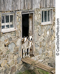 Curious goats - three goats standing at the barn door
