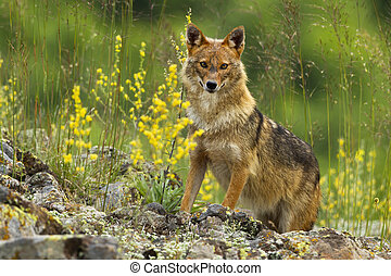 Curious golden jackal standing on rocks and looking to camera in summer