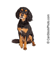 Curious Gordon Setter Mix Breed Dog Sitting - Adorable...