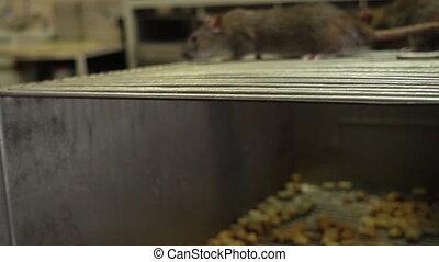 Curious Gray Rats - The curious gray rats running around the...