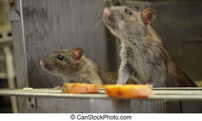 Curious Gray Rats - The curious gray rats peeking out of the...