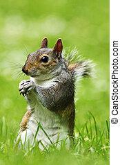 curious grey squirrel on lawn