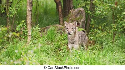 Curious grey wolf looking after prey in the dense summer ...