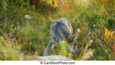 Curious grey wolf smells after rivals and danger in the...