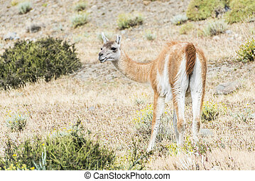 Curious guanaco lama in pampa