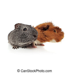 curious guinea pig couple looking to side