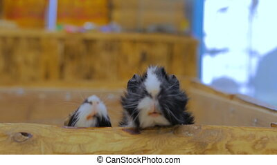 Curious guinea pigs looking around - Curious guinea pigs...