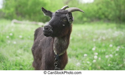 Curious happy black goat grazing in park. Portrait of funny goat. Farm animal looking at camera