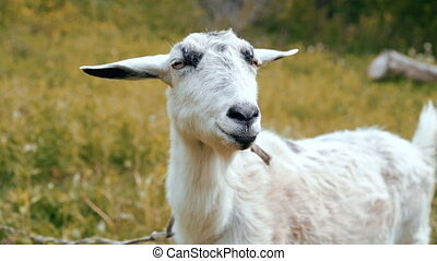 Curious happy white goat grazing in park. Portrait of funny goat. Farm animal looking at camera