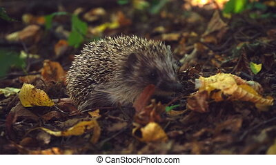 Curious hedgehog in foliage